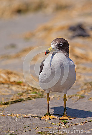 Franklin s Gull close-up