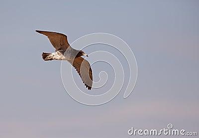 Franklin s Gull in flight