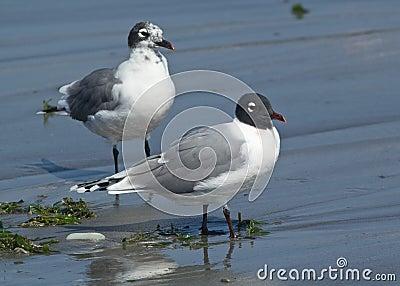 Franklins Gull, Leucophaeus pipixcan