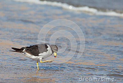 Franklin s Gull at shore