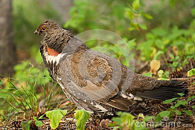 Franklin s Spruce Grouse