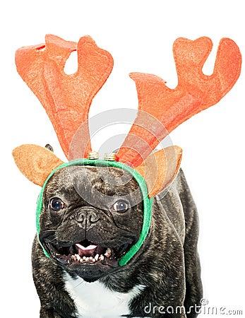 franz sische bulldogge oben gekleidet f r weihnachten. Black Bedroom Furniture Sets. Home Design Ideas