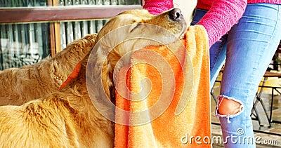 Frau, die ihren Hund mit einem Tuch 4k abwischt stock footage