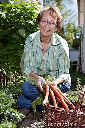 Frau, die Karotten erntet