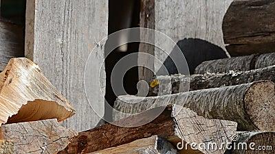 Frau pflücken sammeln oben trockener Hieb Staplungsbrennholz mit der Hand stock video