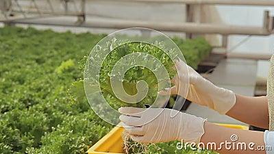 Frau setzte Behälter mit dem Kopfsalatsalat ein, der in Boden, Übertragungen auf gelbe Kästen wächst, beleuchten stock footage