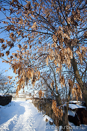 Free Fraxinus Excelsior, European Ash Stock Photography - 13010632