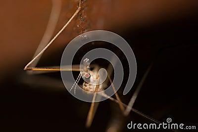 Freakey common crane fly