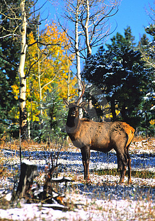 Freaky Bull Elk