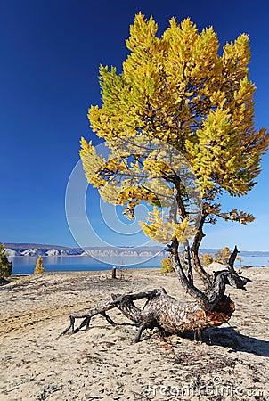Freaky larch tree