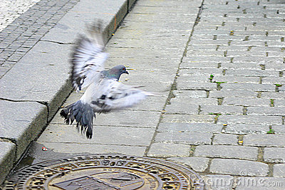 Free as a Pigeon