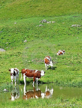 Free cows in mountains