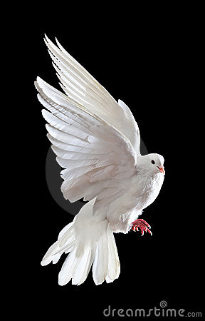 A Free Flying White Dove Isolated On A Black Royalty Free