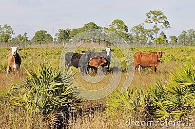 Free range beef cattle