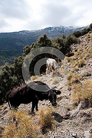 Free range cattle