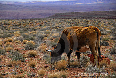 Free Range Cattle Utah Desert