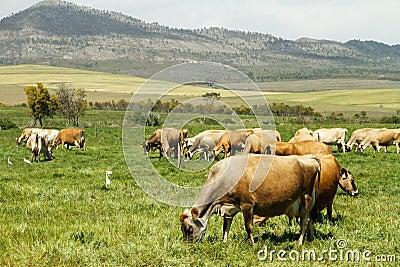 Free range Jersey dairy cows on a farm