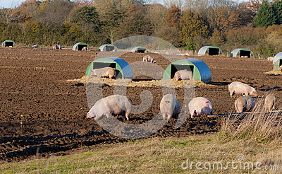 A Sample Pig Farming Business Plan Template