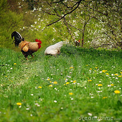 Free rooster and his hen on spring