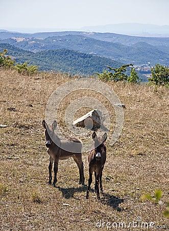 Free wild donkeys