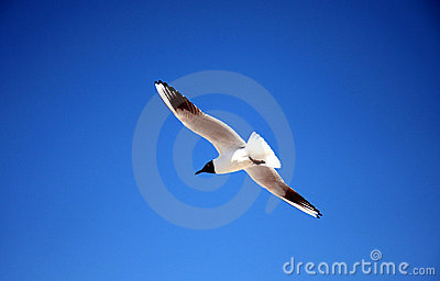 Freedom sea gull