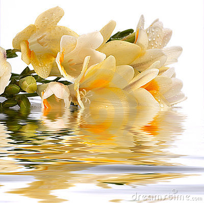 Freesia cluster reflect in the water