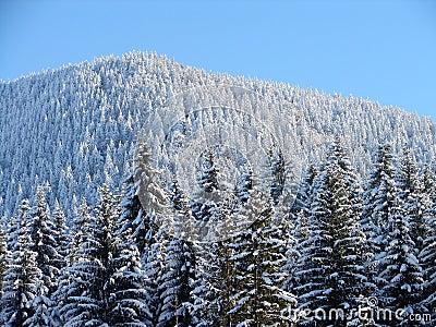 Freezing pine