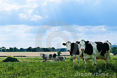Freisian Cows
