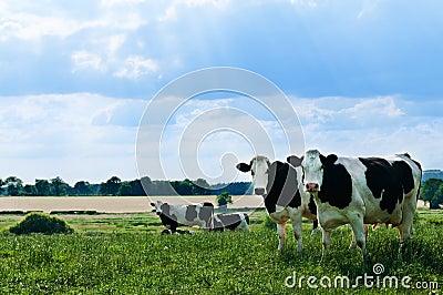 Freisian Cows