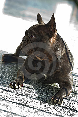 French Bouledogue
