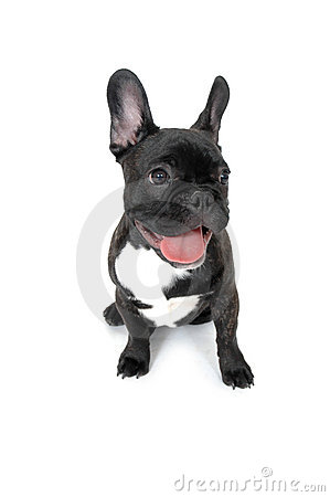 Free French Bull Dog Stock Photo - 2058990
