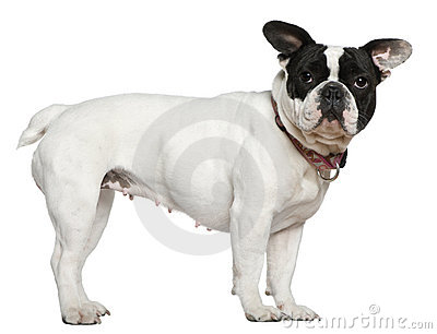 French bulldog, 1 and a half years old, standing