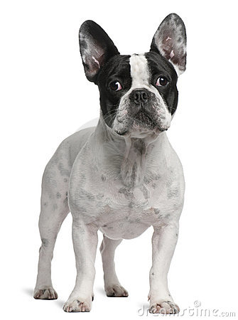 French Bulldog, 2 years old, standing