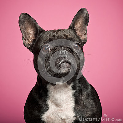 French Bulldog, 3 years old