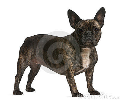 French bulldog, 4 years old, standing