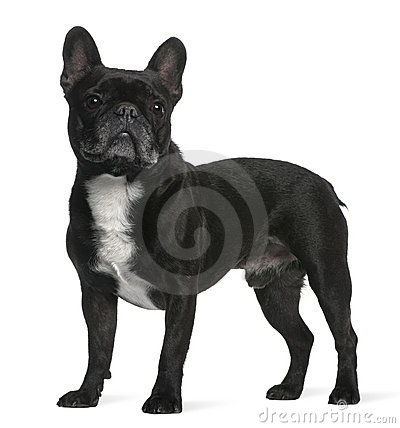 French Bulldog, 6 years old, standing