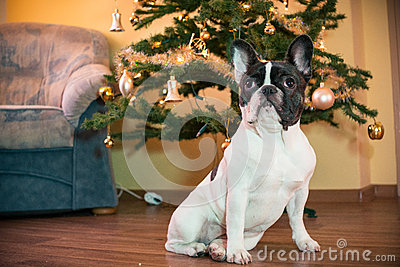 French bulldog with Christmas tree