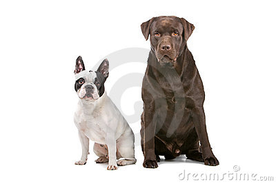 French Bulldog (frenchie)and a chocolate labrador