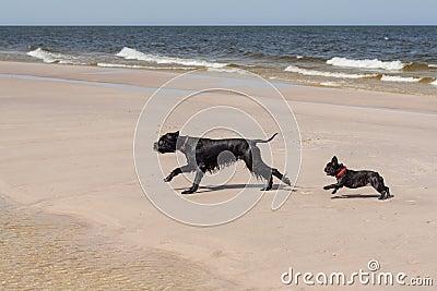 French Bulldog with Giant Schnauzer.