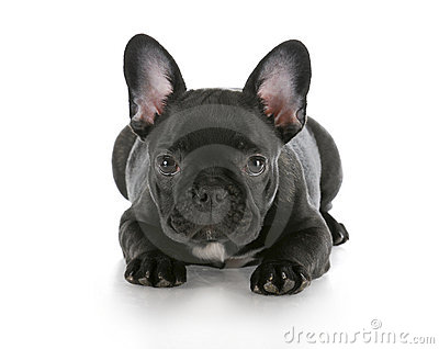 French bulldog laying down