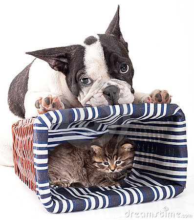 French Bulldog  and little kitten
