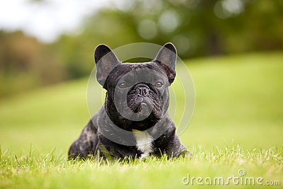 French Bulldog Male Portrait