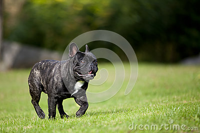 French Bulldog Male running
