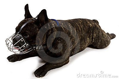 French bulldog with muzzle