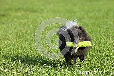 French Bulldog Playing Fetch