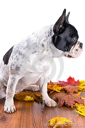 French bulldog portrait over white