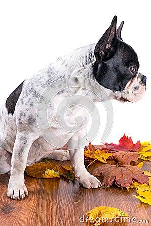 French bulldog portrait over white