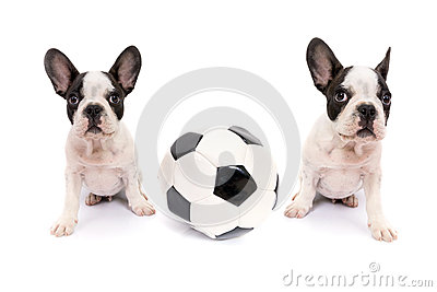 French bulldog puppies with soccer ball