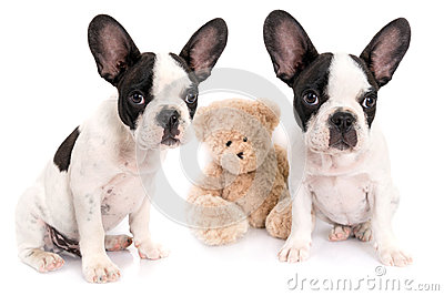 French bulldog puppies with teddy bear