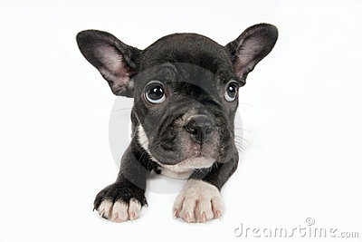 French Bulldog puppy .